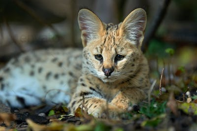 Close young serval cat