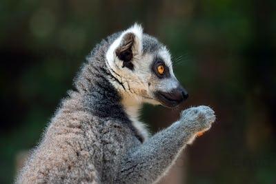 Close lemur portrait on dark background