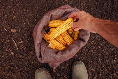 Farmer picking harvested corn cobs from burlap sack, top view