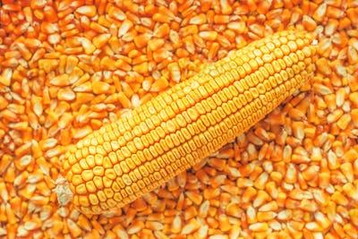 Corn on the cob over golden ripe harvested kernels