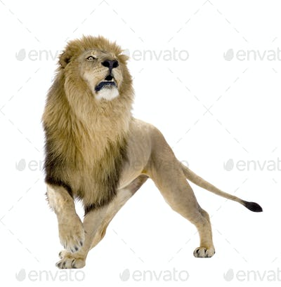 Lion (8 years) - Panthera leo