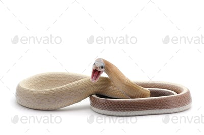 attack Taiwan beauty rat snake isolated on white background