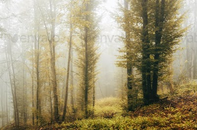 vivid autumn foliage in misty forest