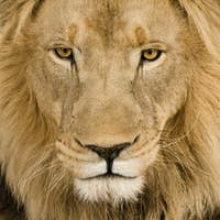Close-up on a Lion's head (4 and a half years) - Panthera leo