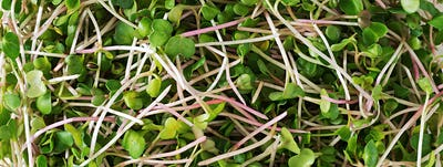 Fresh microgreens salad view from above. Background or texture