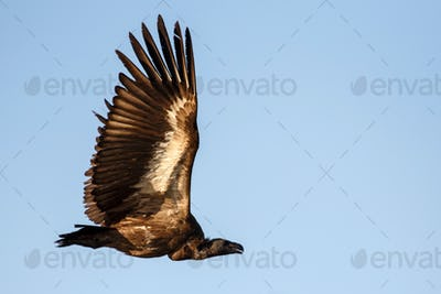 White Backed-Vulture - Chobe N.P. Botswana, Africa