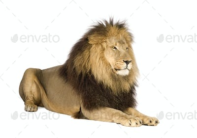 Lion (4 and a half years) - Panthera leo