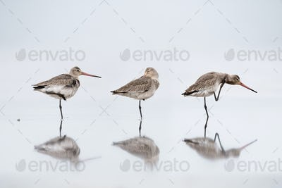 lovely black tailed godwit stood on the water to rest, Limosa limosa