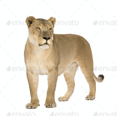Lioness (8 years) - Panthera leo
