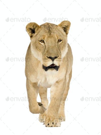 Lioness (8 years) - Panthera leo