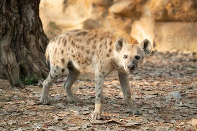 spotted hyena in zoo