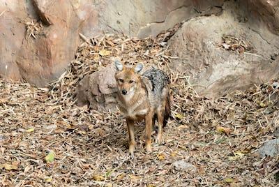 golden jackal in zoo