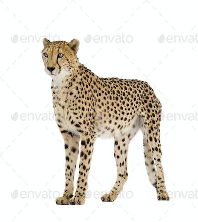 Cheetah - Acinonyx jubatus