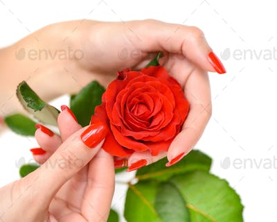 Hands of a woman with red manicure with scarlet rose on white ba