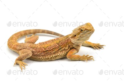 Lizard Bearded Dragon isolated on white background