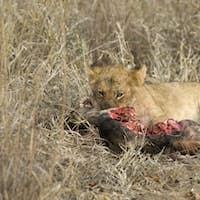 lion cub eating