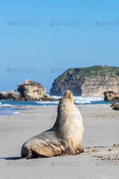 Sea Lion Sun Baking