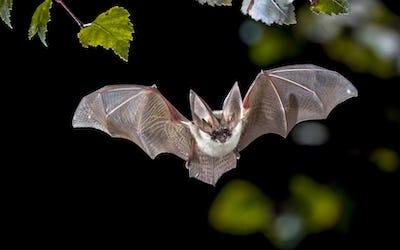 Flying Grey long eared bat in forest