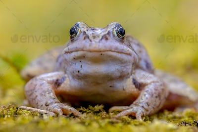 Blue Moor frog frontal view