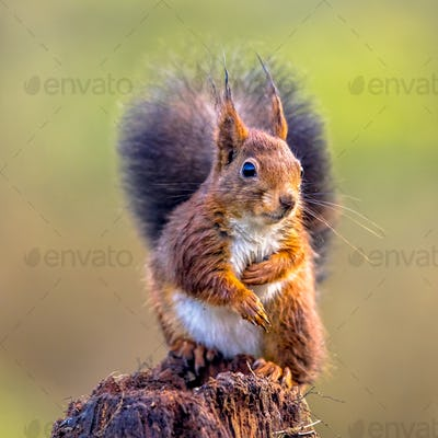 Red squirrel curious on tree trunk
