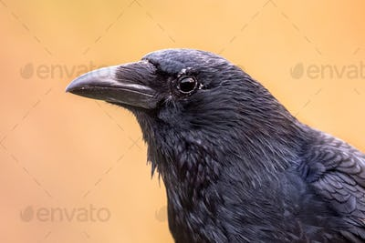 Carrion crow portrait bright background