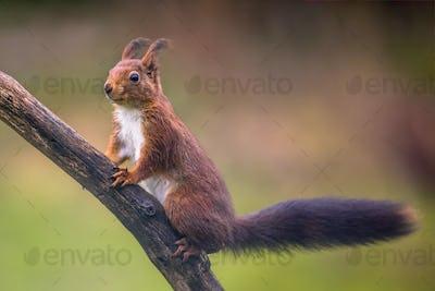 Red squirrel regardful on branch