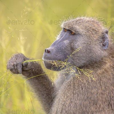 Chacma baboon feeding on grass seeds insta