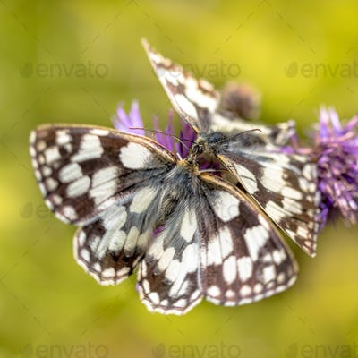Couple of Marbled White butterfly