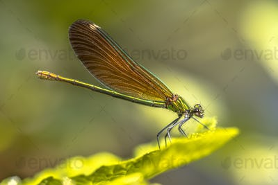 Copper demoiselle female dragonfly