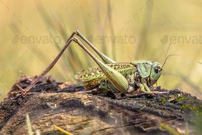 Large Grasshopper wart biter