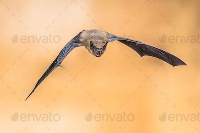 Echolocating pipistrelle bat