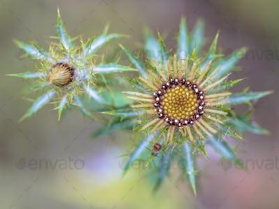 Thistle flower artistic scene crop