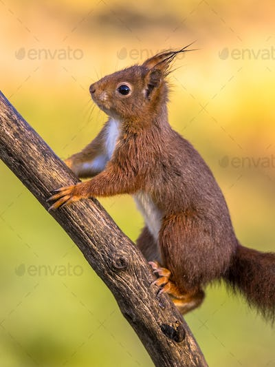 Red squirrel adorable on branch