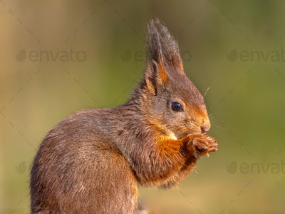 Red squirrel looking at camera on green background