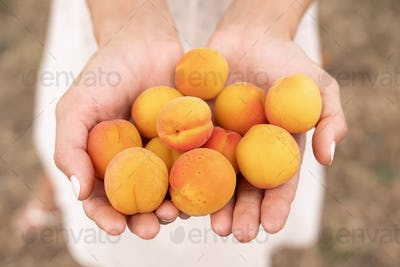 Harvesting of Apricots