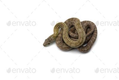 The Japanese rat snake isolated on white background