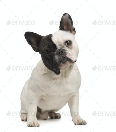 French Bulldog (18 months)