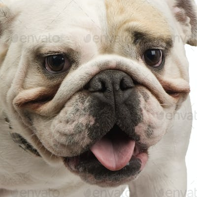 english Bulldog (18 months)