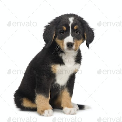 Bernese mountain dog (7 weeks)