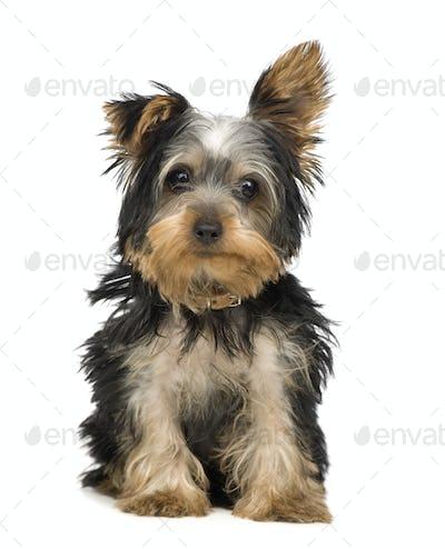 Yorkshire Terrier (3 months)
