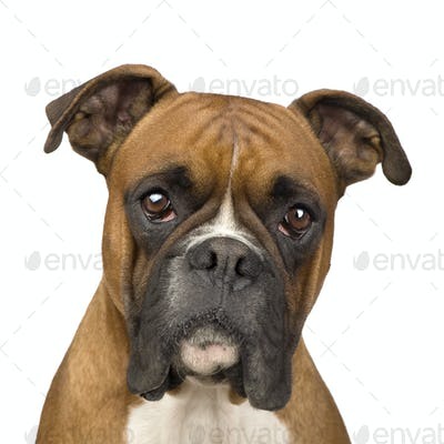 Boxer (2 years)