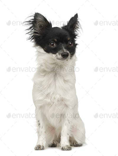 long haired chihuahua (9 months)