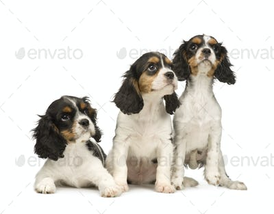 Cavalier King Charles Spaniel (3 months)