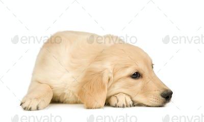 Golden Retriever (3 months)