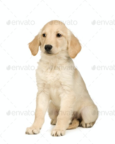 Golden Retriever (3 months)