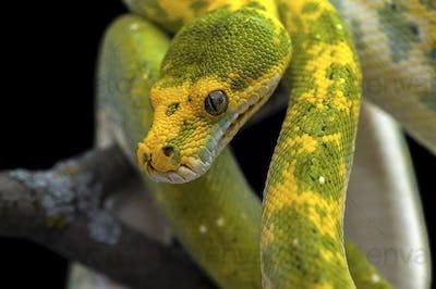 Green tree python isolated on black
