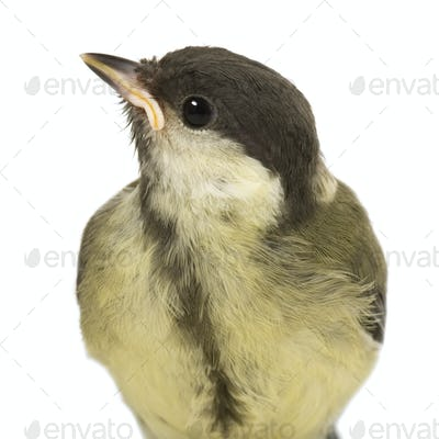 Great Tit - Parus major (6 weeks)