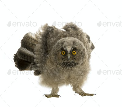 Long-eared Owl - Asio otus (7 weeks)