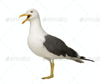 Herring Gull - Larus argentatus (3 years)