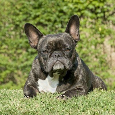 French Bulldog ()